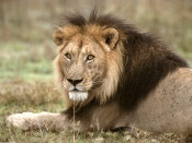 African Lion in Tanzania, Africa