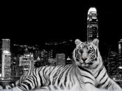Tiger and the City