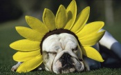 Sunflower Bull Dog