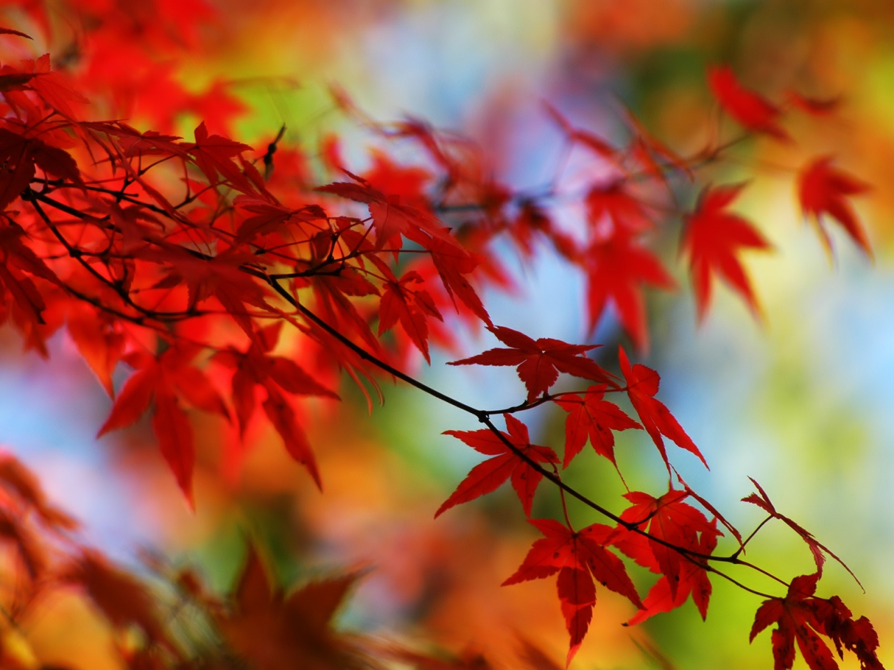 Red Leaves - Autumn