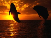 Dolphins Jump on Sunset