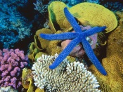Blue Starfish