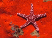 Starfish, Red Background
