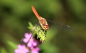 Dragonfly in Natural Garden