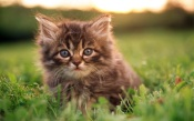 Cute Kitten In The Grass