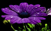 Purple Flower in the Dew
