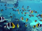 Flock of Butterfly Fishes