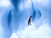 Adelie Penguin, Antarctic Peninsula