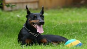 Doberman on the Grass
