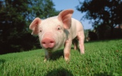 A Pig with Snout on the Green Grass