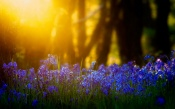 Bluebells in the Light of the Sun