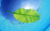 Large Green Leaf on the Water