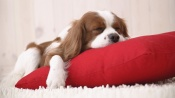 Dog Sleep on a Red Pillow