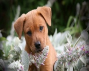 Puppy in a flowers