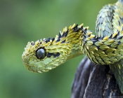 Dragon Snake, Reflective Eye